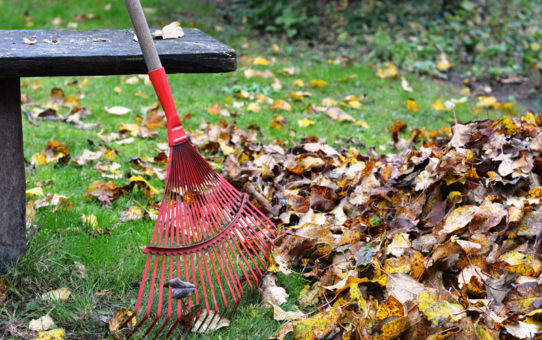 raking autumn leaves on home lawn